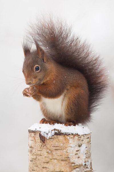 Rode eekhoorn in de sneeuw