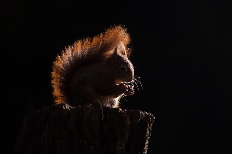 Etende eekhoorn in tegenlicht.
