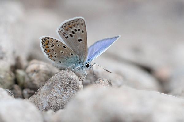 Esparcetteblauwtje (Polyommatus thersites) op een grindbank in de Cevennen