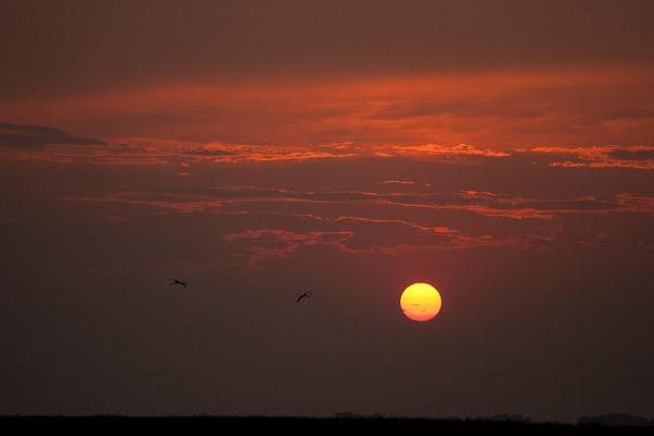 Flamingo silhouet (Phoenicopterus roseus) bij zonsondergang in de Camargue - Zuid Frankrijk