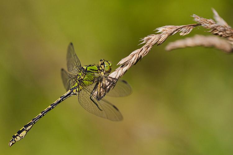 Gaffellibel langs de Roer bij Paarlo