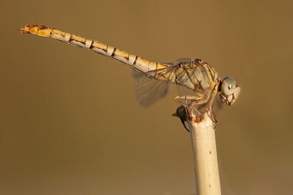Gestreepte haaklibel (Paragomphus lineatus) man