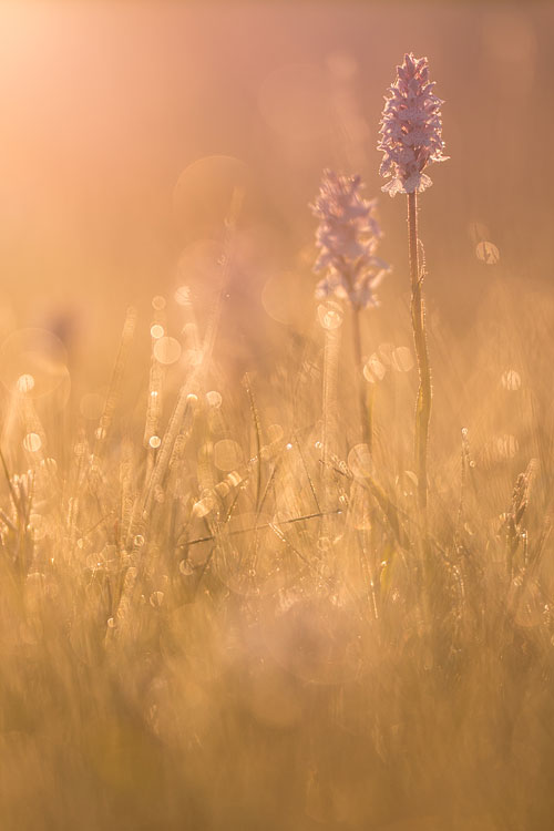 Gevlekte orchissen bij zonsopkomst in tegenlicht