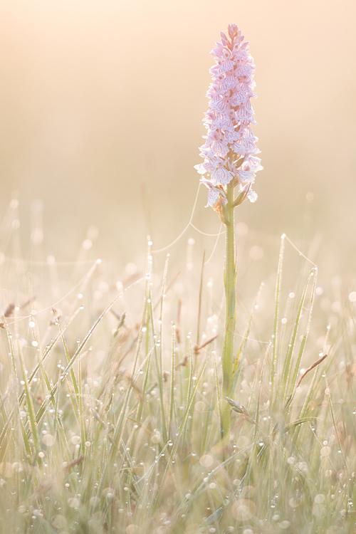 Zacht-roze Gevlekte orchis (Dactylorhiza maculata) bij zonsopkomst