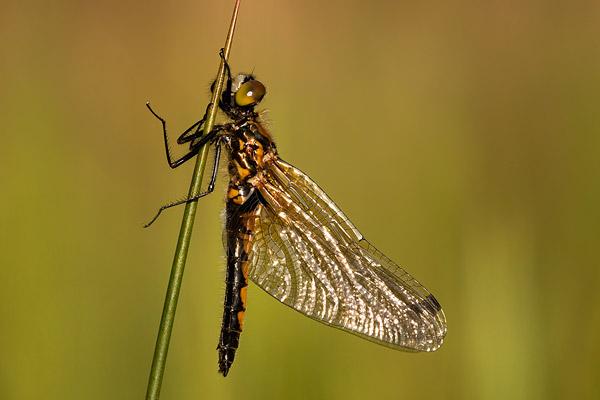Vrouwtje Gevlekte witsnuitlibel (Leucorrhinia pectoralis)