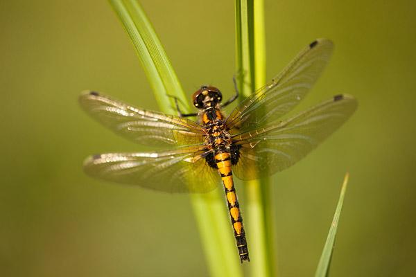 Vers vrouwtje Gevlekte witsnuitlibel (Leucorrhinia pectoralis)