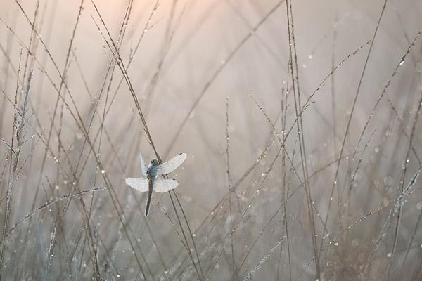 Gewone oeverlibel (Ortetrum cancellatum) vrouwtje in tegenlicht