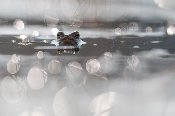 Gewone pad (Bufo bufo) in tegenlicht