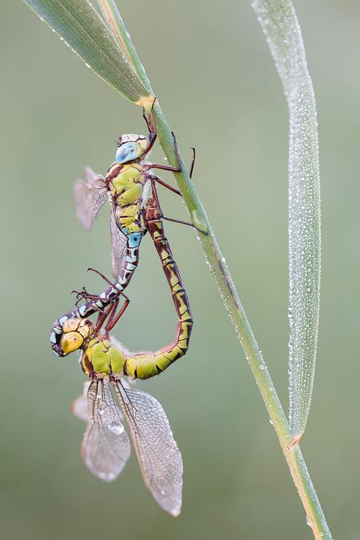Paringswiel van groene glazenmakers (Aeshna viridis)