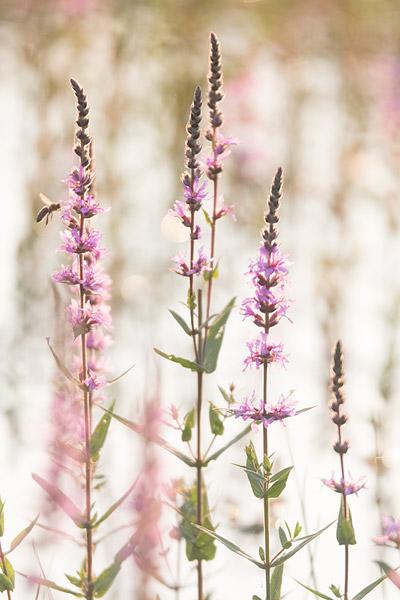 Grote kattenstaart (Lythrum salicaria) met bij