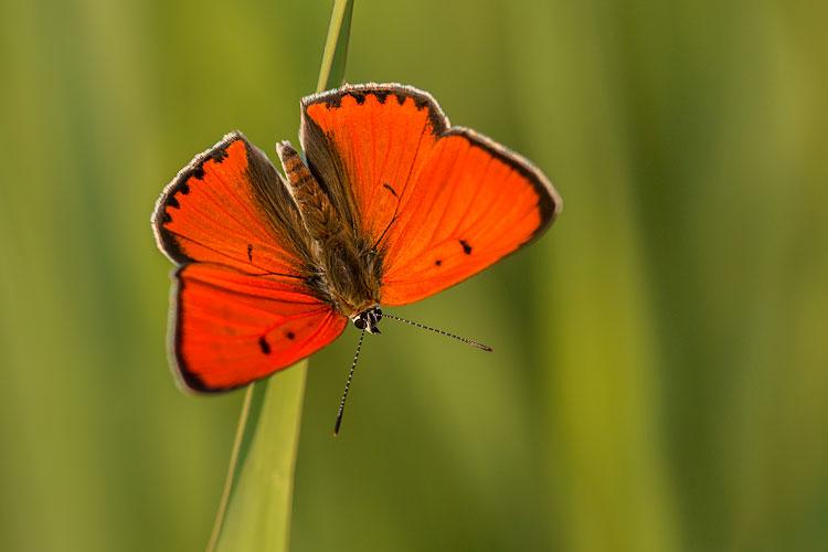 Grote vuurvlinder (Lycaena dispar) mannetje warmt op in de zon