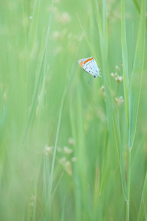 Grote vuurvlinder (Lycaena dispar) in zijn natuurlijke habitat