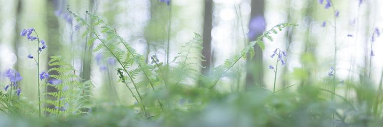 Wilde hyacinten ( Hyacinthoides non-scripta) en varens panorama.