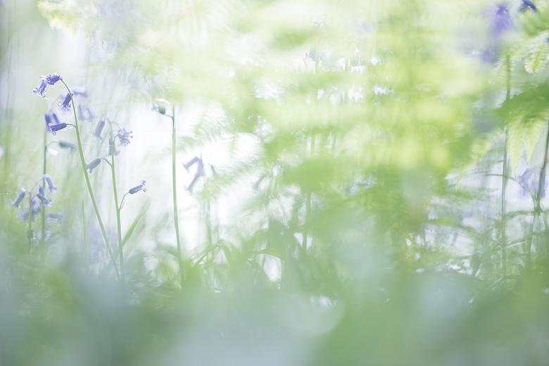 Wilde hyacinten ( Hyacinthoides non-scripta) in het bos.