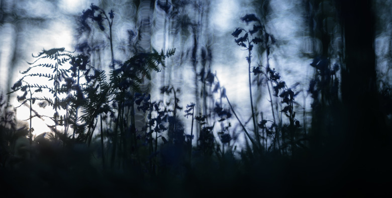 Wilde hyacinten ( Hyacinthoides non-scripta) in het Hallerbos bij het laatste licht.
