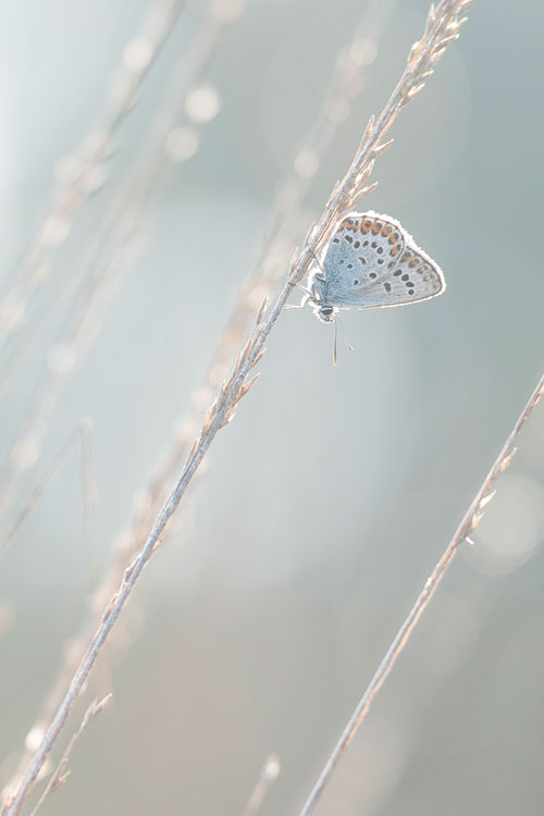 Heideblauwtje (Plebejus argus) in pijpestro