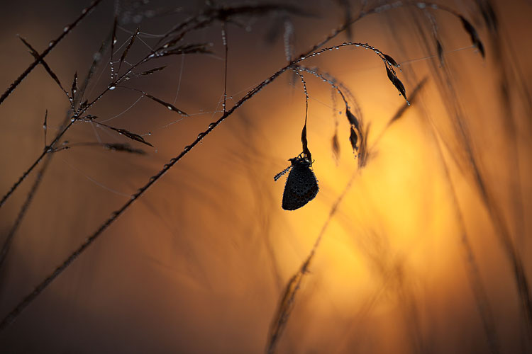 Heideblauwtje (Plebejus argus) in tegenlicht