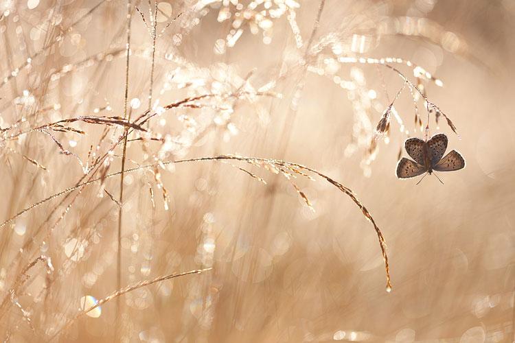 Heideblauwtje opwarmend in het eerste licht