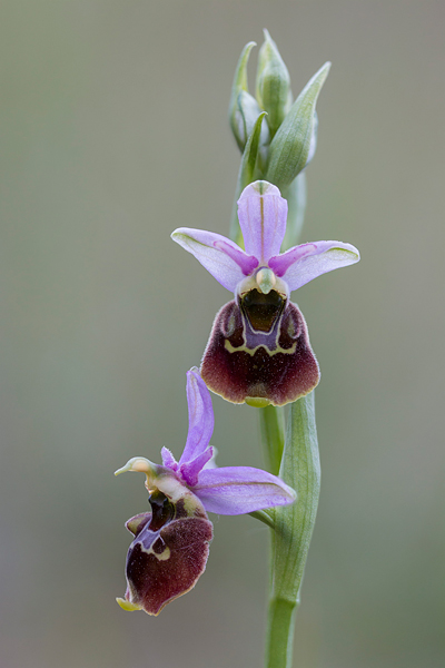 Hommelorchis (Ophrys fuciflora)