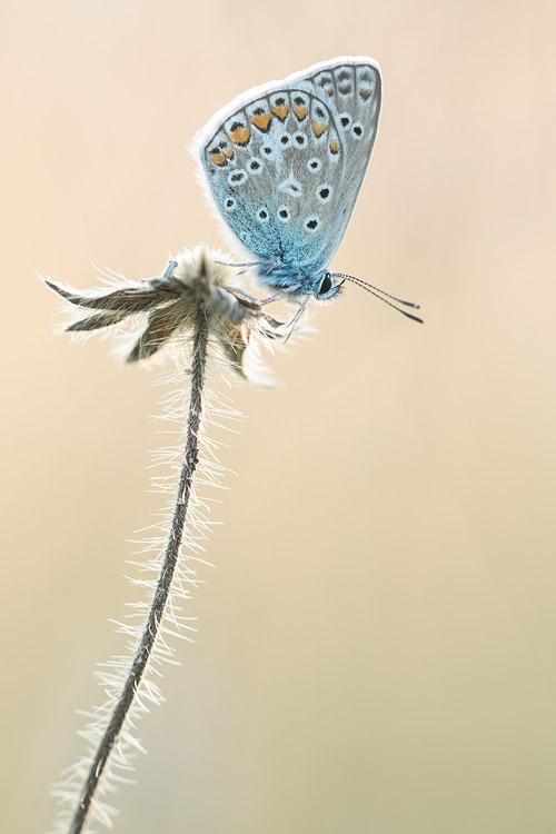 Icarusblauwtje op uitgebloeid duifkruid