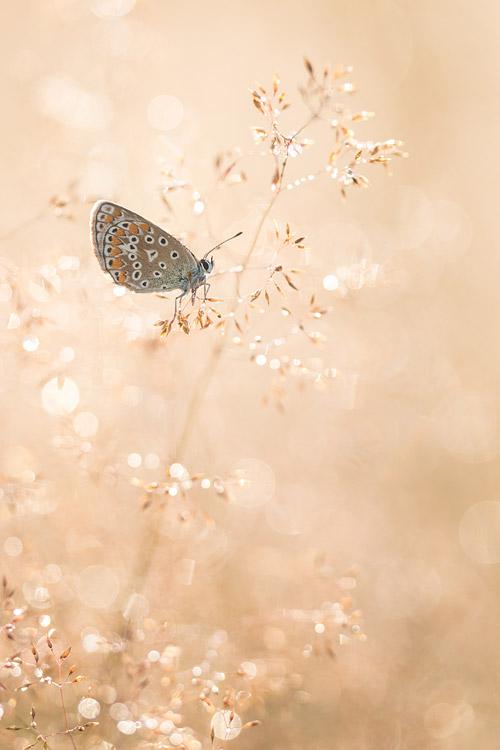 Icarusblauwtje in bedauwde grassen