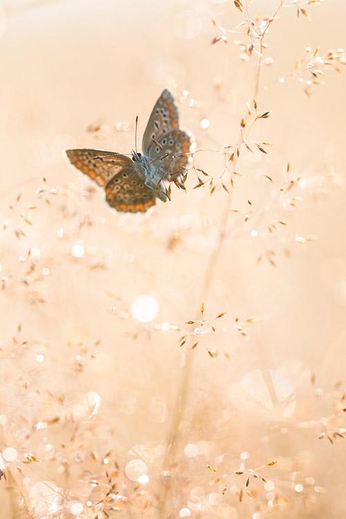 Icarusblauwtje warmt op in de zon