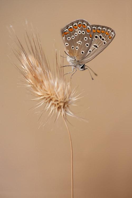 Bijzonder donker examplaar Icarusblauwtje (Polyommatus icarus)