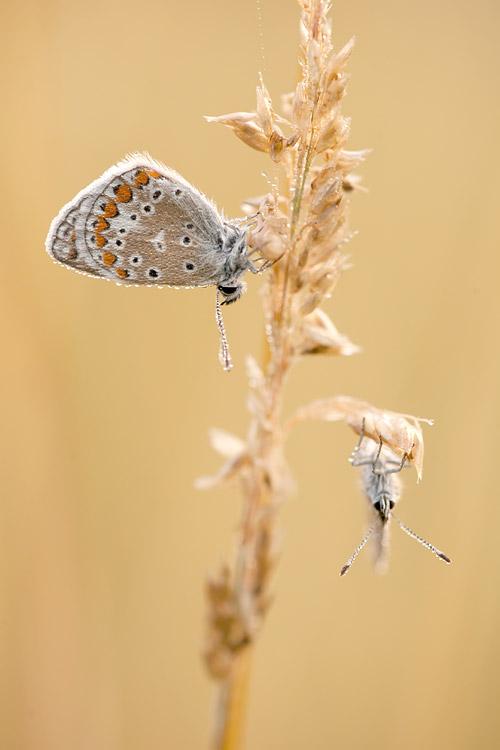 Icarusblauwtjes bedauwd op gras