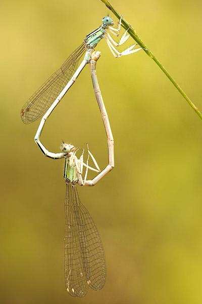 Copula Ivoren breedscheenjuffer (Platycnemis dealbata)