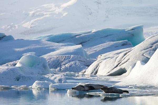Zeehonden op het ijs in Jokulsarlon