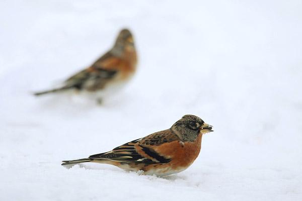 Twee kepen in de sneeuw