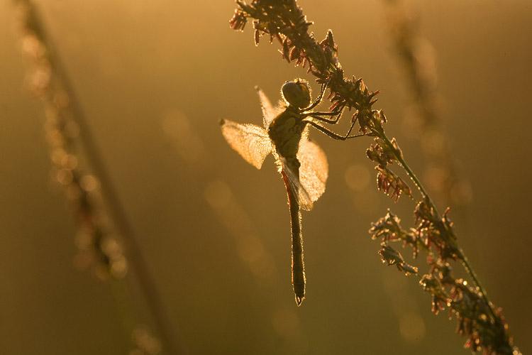 Kempense heidelibel (Sympetrum depressiusculum).
