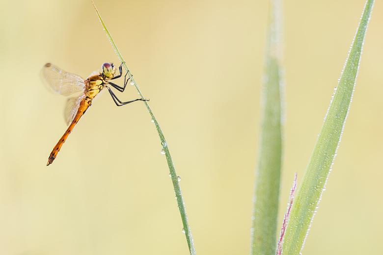 Half uitgekleurd mannetje van de kempense heidelibel (Sympetrum depressiusculum)