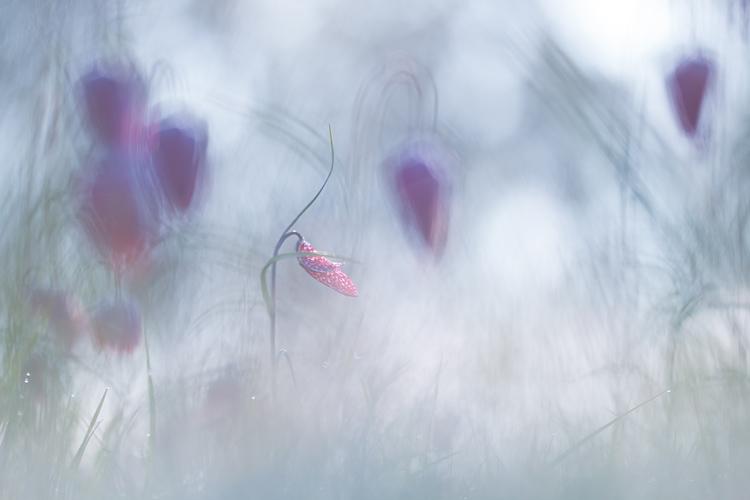 Halve kievitsbloem (Fritillaria meleagris)