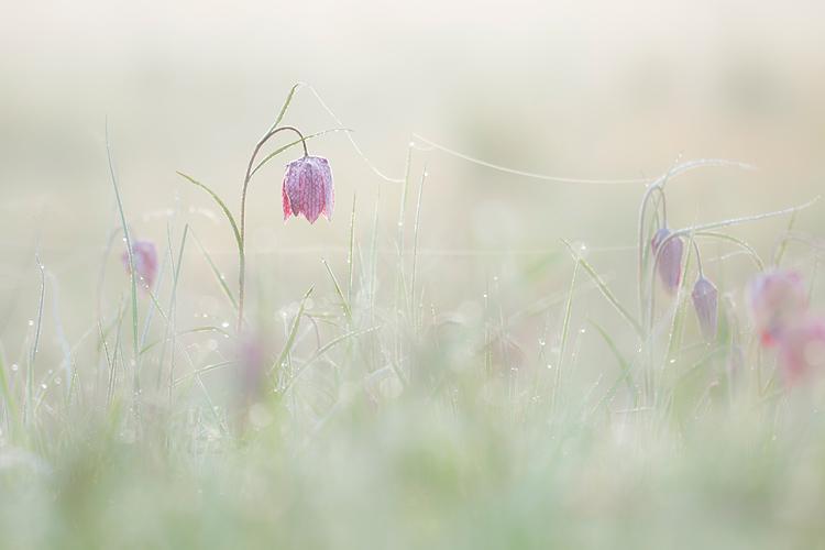 Kievitsbloemen in de mist