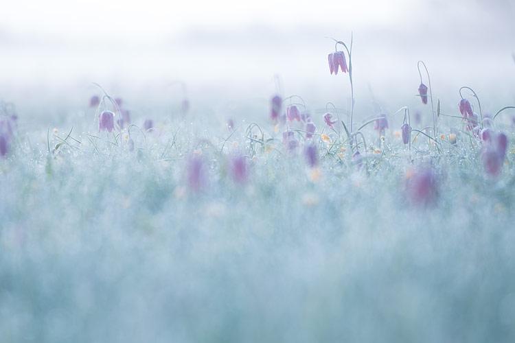 Een veld met kievitsbloemen voor zonsopkomst: mistig en koele tinten