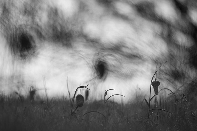 Kievitsbloem (Fritillaria meleagris) zonder bloemen