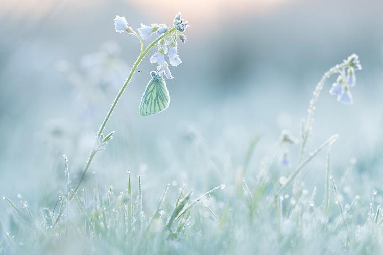 Klein geaderd witje onder de rijp in berijpt landschap