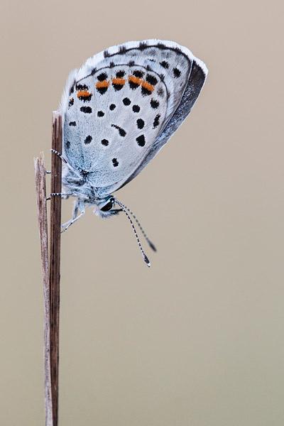 Klein tijmblauwtje (Pseudophilotes baton)