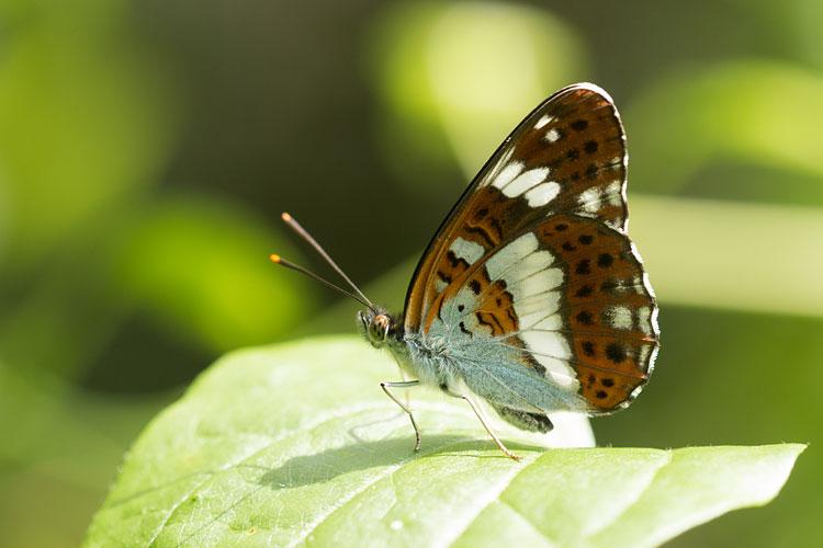 Kleine ijsvogelvlinder (Limenitis camilla) met gesloten vleugels