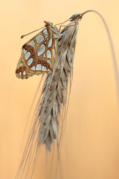 Kleine parelmoervlinder (Issoria lathonia)