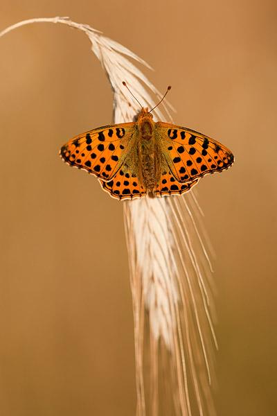 Kleine parelmoervlinder (Issoria lathonia) - bovenkant van de vleugels