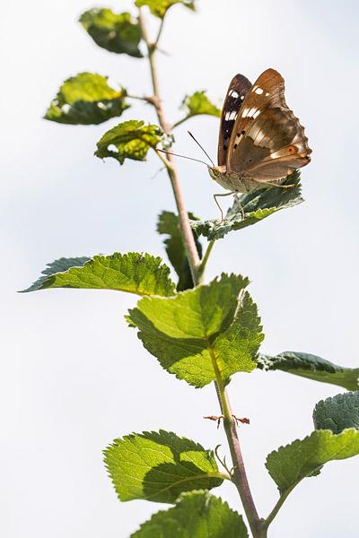Vrouwtje Kleine weerschijnvlinder (Apatura ilia)