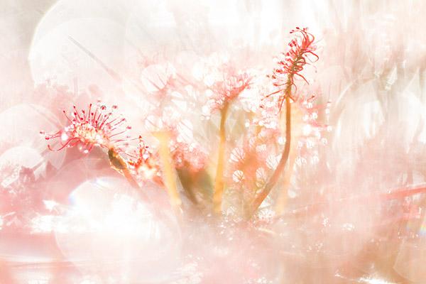 Kleine zonnedauw (Drosera intermedia) en bokeh