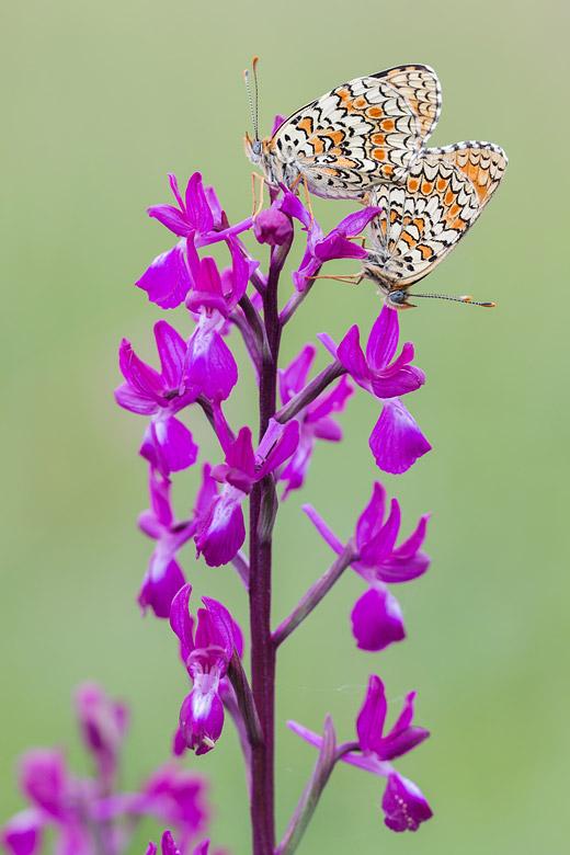 Knoopkruidparelmoervlinder (Melitaea phoebe)