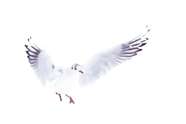 Kokmeeuwen vliegen in vallende sneeuw