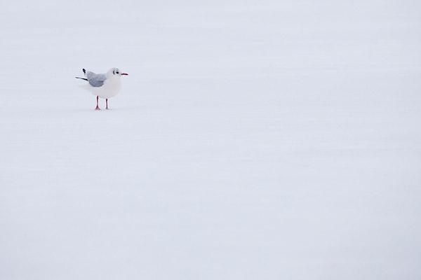 Kokmeeuw op het ijs