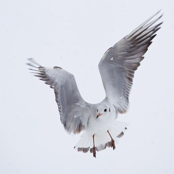 Kokmeeuw (Larus ridibundus) in high-key