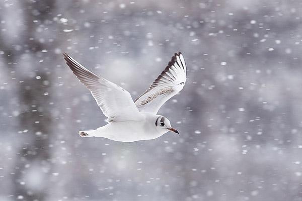 Kokmeeuw in de sneeuw