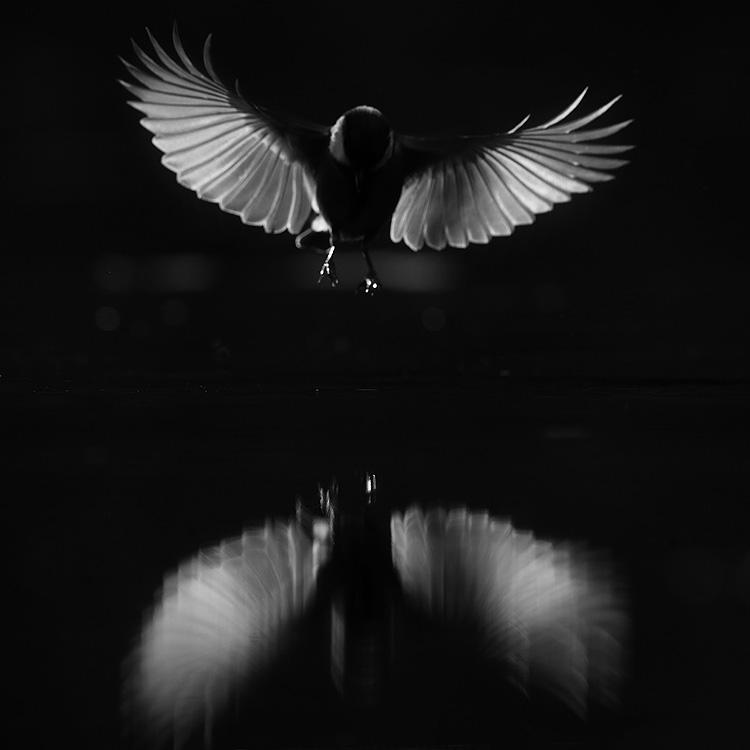 Koolmees (Parus major) met gespreide vleugels en licht door de slagpennen.